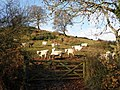 Young cattle, above the Dart Valley - geograph.org.uk - 1625891.jpg