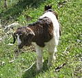 Young goat - panoramio (1696).jpg