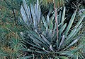 Yucca filamentosa subsp. concava fh 1182.5 NC B.jpg