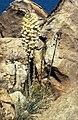 Yucca whipplei subsp. caespitosa fh 1179.58 CAL BB.jpg