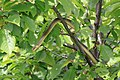 Zamenis longissimus tree.jpg