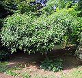 Zanthoxylum acanthopodium.jpg
