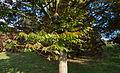 Zelkova carpinifolia - Feuilles.jpg