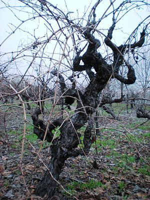Zinfandel - Gnarly zinfandel grapes in Sonoma, California, in the winter