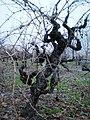 Zinfandel vineyard - Madrone Vineyards Estate - Stierch.jpg