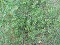 Ziziphus oenoplia in India (3).JPG