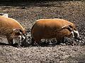 Zoo Landau Pinselohrschweine weiblich.JPG