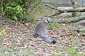 Zoo de Vincennes, Avril 2014 - Lémure à queue anelée 2.jpg