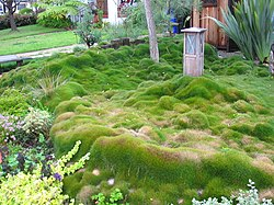 Zoysia grass in San Diego California 02-2005.jpg