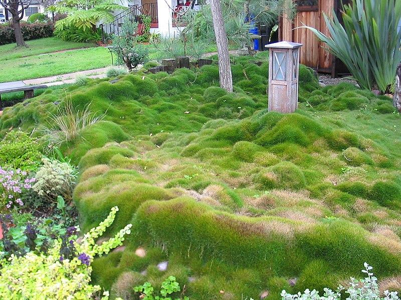800px-Zoysia_grass_in_San_Diego_California_02-2005.jpg