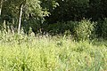 Zuidelijke Glazenmakers ♂ 13-7-2018 Bospolder Ekeren (1).jpg