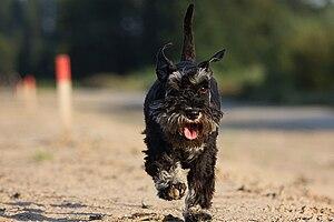 Schnauzer - Schnauzer running