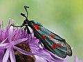 Zygaena centaureae (40528635645).jpg