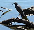 (1)heron Centennial Park-1.jpg