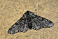 (1931) Peppered Moth (Biston betularia) f.insularia (3660480813).jpg