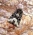 (2337) Marbled Minor (Oligia strigilis) (34156443573).jpg
