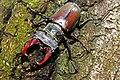 Жуки-олені розмноження та годівля 06.jpg