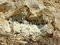 Колонія клопів Corizus hyoscyami.jpg