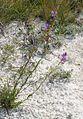 Крейдяні відслонення Polygala cretacea2.jpg