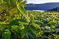 Курильский бамбучник в росе.jpg