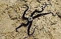 Офиура или змеехвостка (лат.Ophiuroidea) .Die Stachelhäuter (Echinodermata).2H1A5216OB.jpg