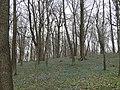 Цветут пролески - panoramio.jpg
