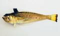 سمكة البلامة.png