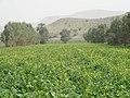 مزرعه كلزا-Canola Field - panoramio.jpg