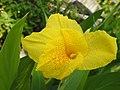พุทธรักษา Canna indica L. วงศ์ Cannaceae (17).jpg