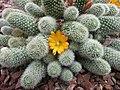 仙人掌-子孫球屬 Rebutia fabrisii v aureiflora -新加坡濱海灣花園 Gardens by the Bay, Singapore- (24601154730).jpg