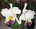 卡特蘭屬 Cattleya gaskelliana v semi-alba -香港沙田洋蘭展 Shatin Orchid Show, Hong Kong- (9229778198).jpg