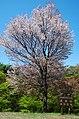 吉野山中千本 「桜の広場」 2014.4.15 - panoramio.jpg
