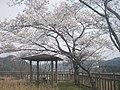 土師ダム展望台の桜 - panoramio.jpg