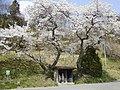 富沢の地蔵サクラ - panoramio.jpg