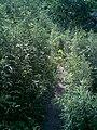 小路淹没在荒草中 - panoramio.jpg
