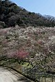 木下沢梅林 - panoramio (2).jpg