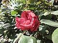 樹狀月季 Rosa chinensis -武漢植物園 Wuhan Botanical Garden- (9207614094).jpg
