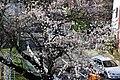 湖畔近くの桜 - panoramio.jpg