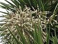 澳洲朱蕉 Cordyline australis -墨爾本 Werribee Park, Melbourne- (10963111424).jpg