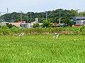 田んぼにカカシ - panoramio (1).jpg