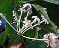 皇冠果屬 Phaleria acuminata -哥本哈根大學植物園 Copenhagen University Botanical Garden- (36808209316).jpg