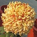 菊花-泥金蓮球 Chrysanthemum morifolium 'Gold Dust Lotus Ball' -中山小欖菊花會 Xiaolan Chrysanthemum Show, China- (11995380596).jpg