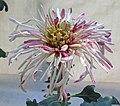 菊花-灰鶴含珠 Chrysanthemum morifolium 'Grey Crane with Pearl in Mouth' -香港圓玄學院 Hong Kong Yuen Yuen Institute- (11994572835).jpg