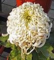 菊花-禾城獅吼 Chrysanthemum morifolium 'Jiaxing Lion Roaring' -中山小欖菊花會 Xiaolan Chrysanthemum Show, China- (12026336145).jpg