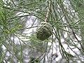 落羽杉(落羽松) Taxodium distichum -香港青衣公園 Tsing Yi Park, Hong Kong- (9219891313).jpg