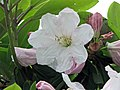 蒼白杜鵑 Rhododendron glaucophyllum -比利時 Ghent University Botanical Garden, Belgium- (10018297726).jpg