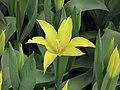 野鬱金香 Tulipa sylvestris -香港花展 Hong Kong Flower Show- (9216112356).jpg
