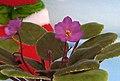 非洲紫羅蘭 Saintpaulia Ma's Jamaican Farewell -香港北區花鳥蟲魚展 North District Flower Show, Hong Kong- (31845235676).jpg