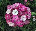 鬚苞石竹 Dianthus barbatus Harlequin -泰國清邁花展 Royal Flora Ratchaphruek, Thailand- (9447933735).jpg