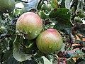 -2019-07-20 Apples, Trimingham.JPG